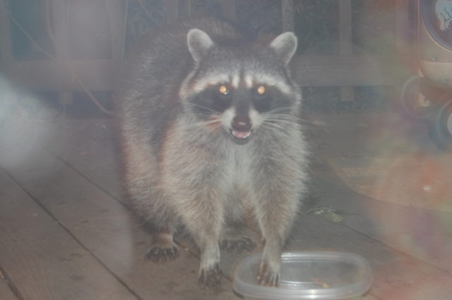 Rocky Racoon paid a visit to Phil & Susan's back porch before bedtime.