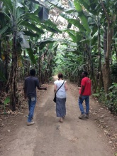 Walking through the banana grove