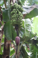A banana tree with fruit and flower